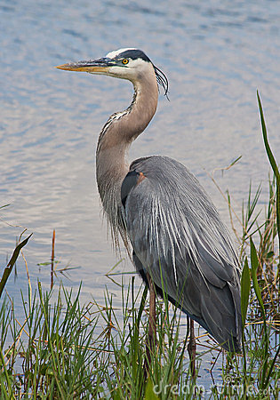 Free Great Blue Heron Royalty Free Stock Image - 24089576