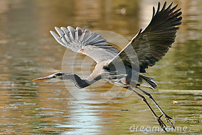 Great Blue Heron Royalty Free Stock Image - Image: 28380856