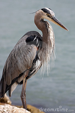 Free Great Blue Heron Royalty Free Stock Photography - 4868297