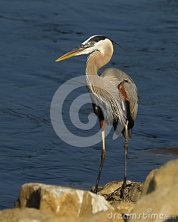 Free Great Blue Heron Stock Photography - 55274922