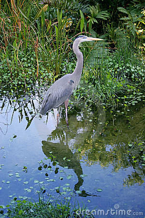 Free Great Blue Heron Stock Photo - 95360