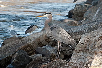 Great Blue Heron along River