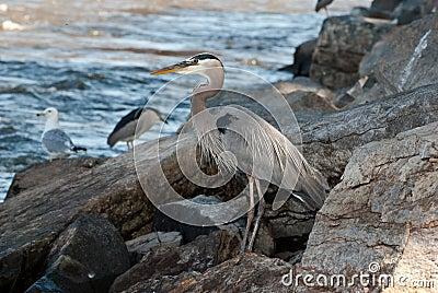 Great Blue Heron along River