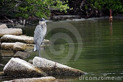 A great blue heron, ardea herodias