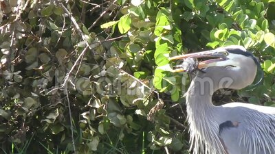 Great Blue Heron catching fish stock video