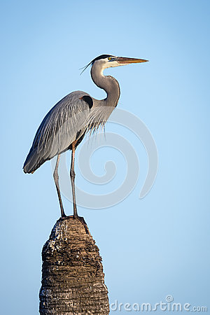 Free Great Blue Heron (Ardea Herodias) Perched On  Top Of A Palm Tree Stock Image - 64497251