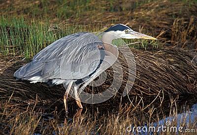 Great Blue Heron (Ardea herodias) watchful
