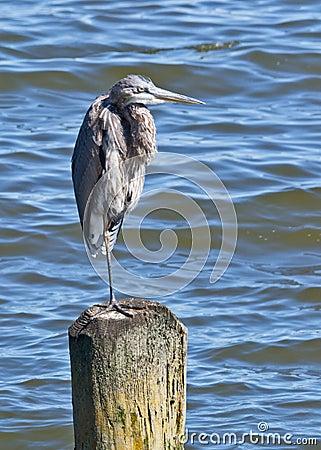 Great Blue Heron Balancing on One Leg