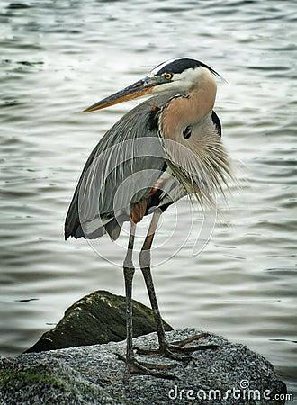 Free Great Blue Heron Bird Stock Image - 9582481