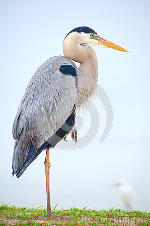 Free Great Blue Heron Bird Resting On One Leg Royalty Free Stock Photos - 38149138
