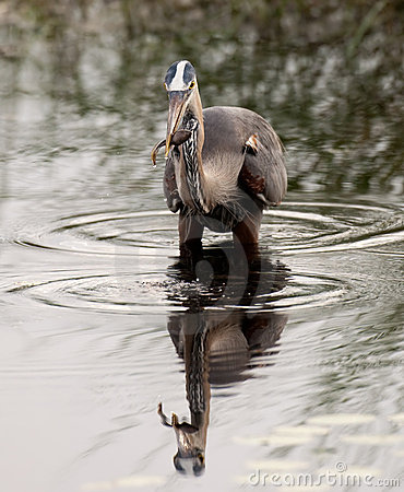 Great blue heron catching tadpole