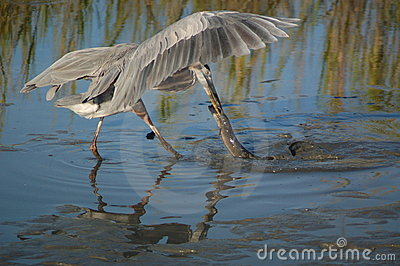 Great Blue Heron with eel