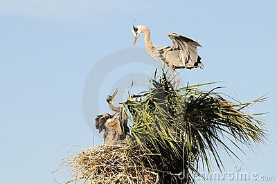 Great Blue Heron Family Portrait