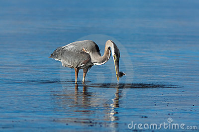 Great Blue Heron with a Fish.