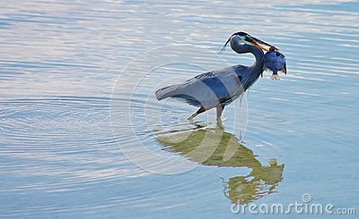 Great Blue Heron with fish copy space