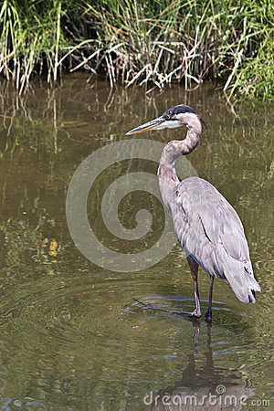 Great Blue Heron Fishing for Lunch