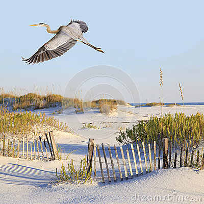Free Great Blue Heron Flies Over A White Sand Beach Stock Image - 48952571