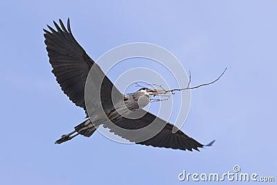 Great Blue Heron Flying Flight