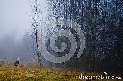 Great Blue Heron (Ardea herodias) on a foggy morning