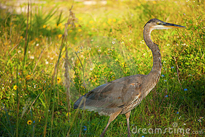 Great Blue Heron in the grass and flowers