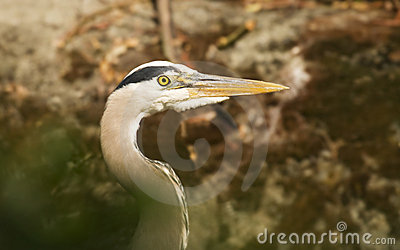 Great Blue Heron Head