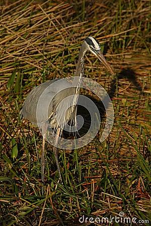 Free Great Blue Heron Hunting Stock Image - 1111961