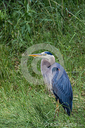Free Great Blue Heron In Grass Stock Photo - 88435970