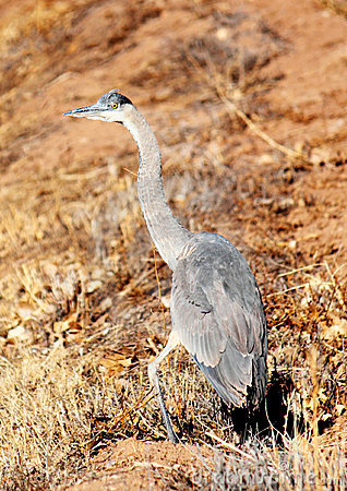 Great Blue Heron with Injured Leg