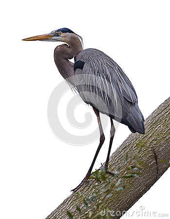Free Great Blue Heron On White Stock Photo - 30281020