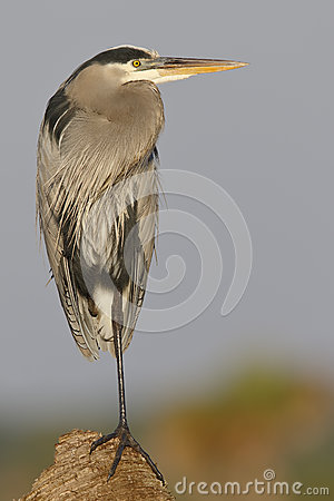 Free Great Blue Heron Perched On A Palm Stump In Florida Stock Photography - 81908382