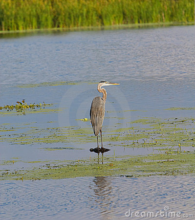 Free Great Blue Heron Perched On La Stock Photography - 3071762