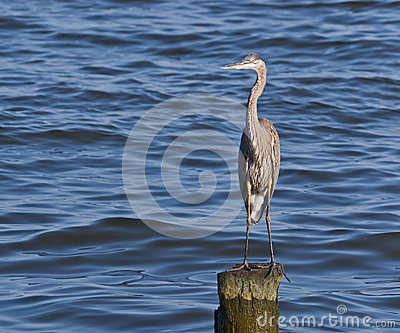Great Blue Heron on Pile