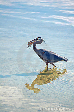 Great Blue heron with Pompano Fish
