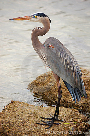 Free Great Blue Heron Portrait With Copy Space Royalty Free Stock Photo - 10798215