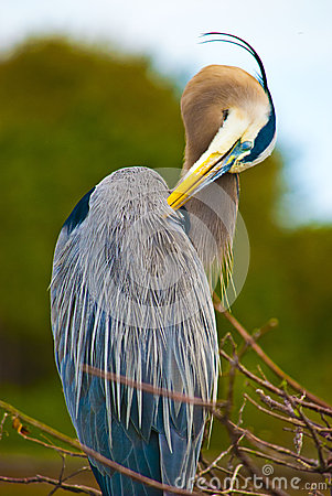 Free Great Blue Heron Preening Royalty Free Stock Photo - 45652345