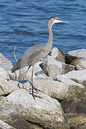 Great Blue Heron on Rocks