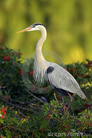 Great Blue Heron at rookery