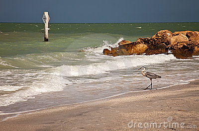 Great Blue Heron on Sanibel Beach, Florida