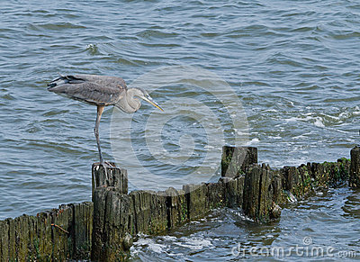 Great Blue Heron on Seawall