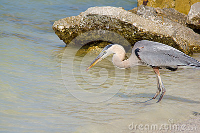 Great blue heron with shrimp in beak
