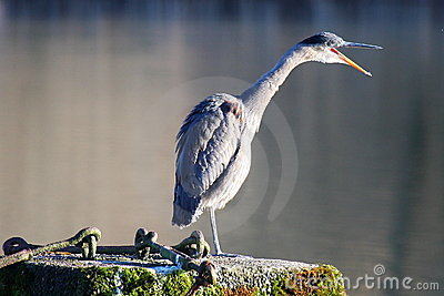 Great Blue Heron Squawk....