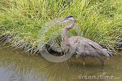 Great Blue Heron Stalking Lunch