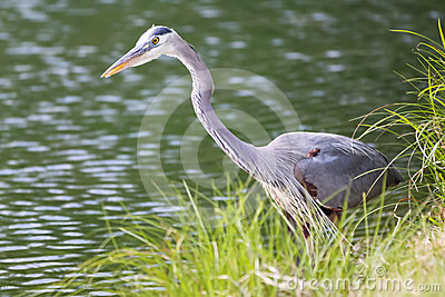 Great Blue Heron Stalking Waterside