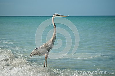 Great Blue Heron Standing on a Gulf Coast Beach