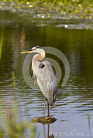 Great Blue Heron on a stone