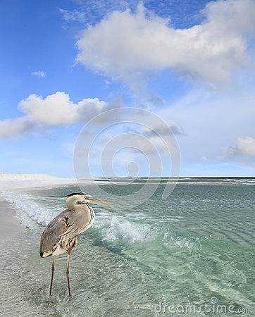 Free Great Blue Heron Wading In The Gulf Of Mexico Stock Photo - 82241490