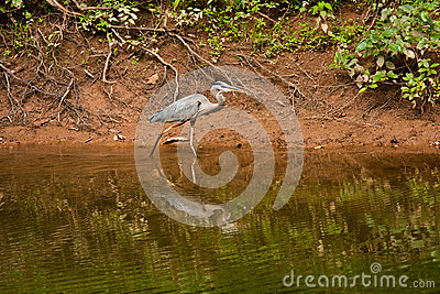 Great Blue Heron Walking at Edge of Creek