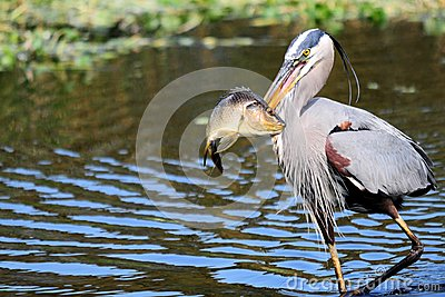 Great Blue Heron walking with fish