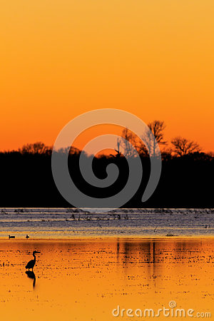 Free Great Blue Heron With Ducks In The Background Standing In Flooded Rice Field Used As Hunting Ground During Duck Season At The Bald Stock Photography - 95217472