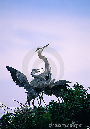 Great Blue Herons in nest